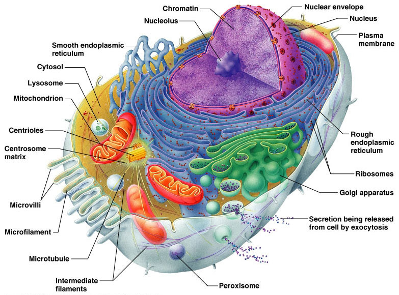 The Perfect Distribution of Organelles in the Cell