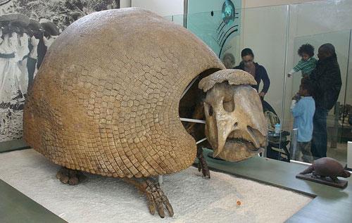 glyptodont-fosil