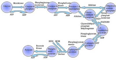 Macıntosh HD:Users:mac13:Desktop:the-optimal-design-of-metabolism_files:glycolysis.png