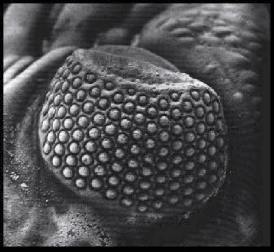 Image result for Işığa hassas bir hücre veya ondan bir geçiş söz konusu değildir.      trilobites Phacops-eye