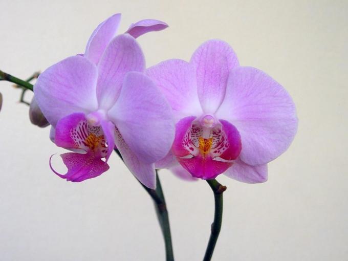 orkide 2
