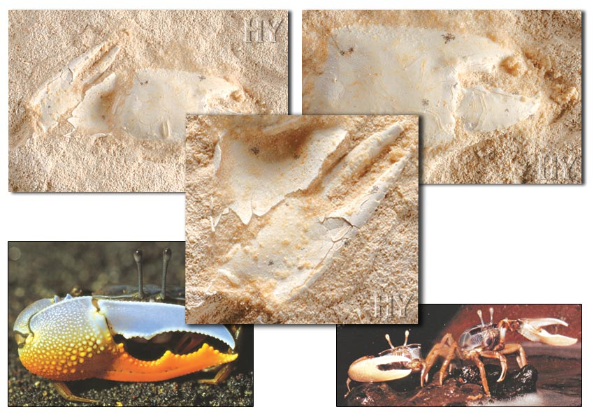 Crabe fossile