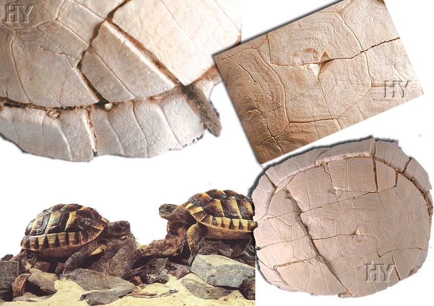 Tortue fossile