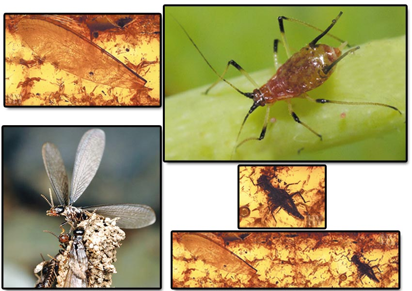 Aphid and Termite Wing