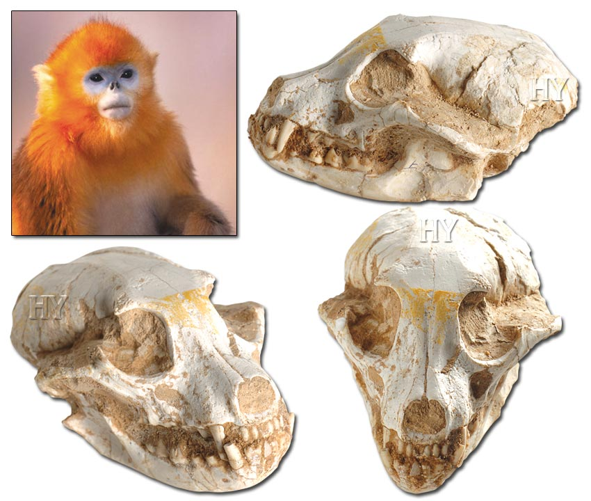 Golden Monkey Skull
