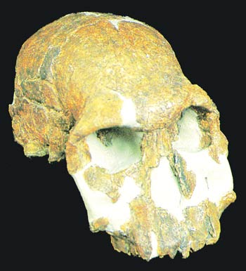 The Turkana Boy's fossilized skull