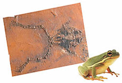 fossile grenouille