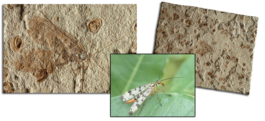 scorpion fly, fossil