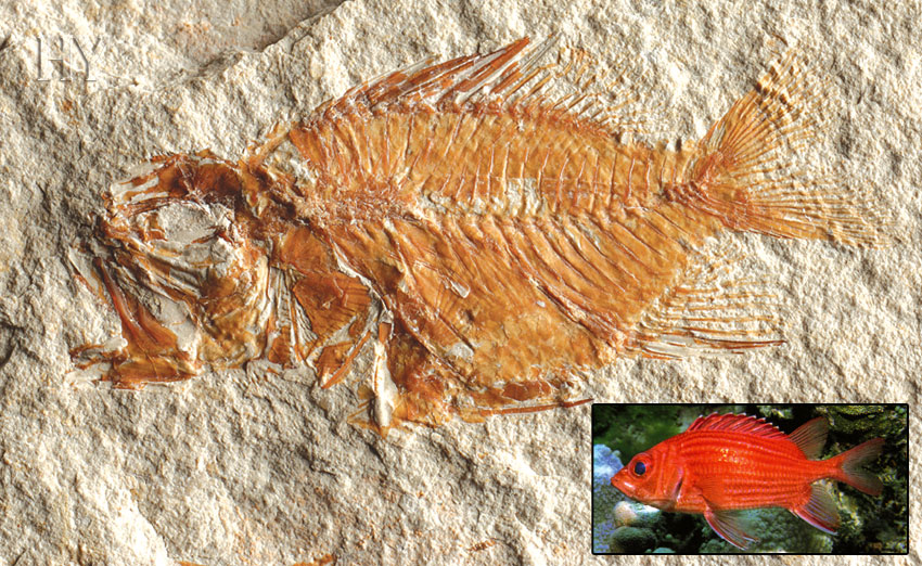 Soldier fish, fossil