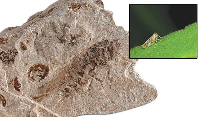 plant, fossil, fly, planthoppers, planthopper
