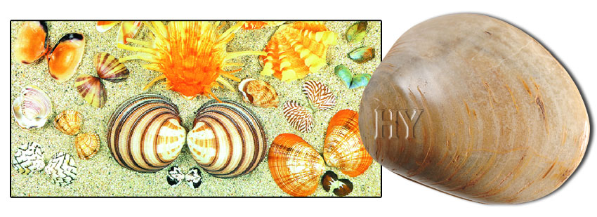 bivalve, fossil, evolution