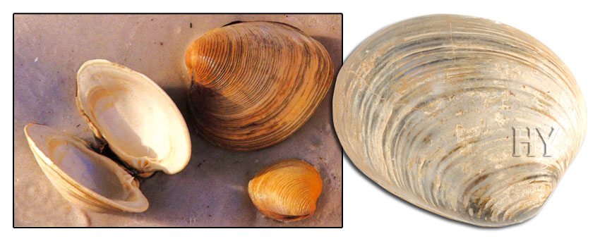 bivalve, evolution, fossil