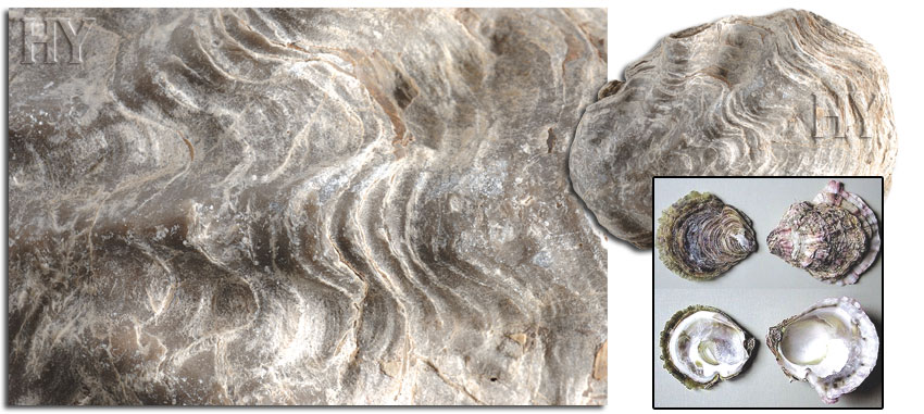 bivalve and fossil