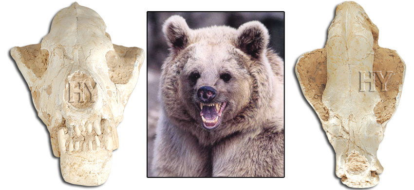Brown bears, Brown bear, fossil, skull