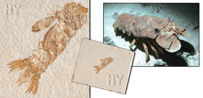 Scyllaridae, slipper lobster, fossil, evolution