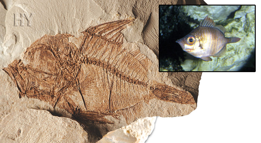 Capros, fossil