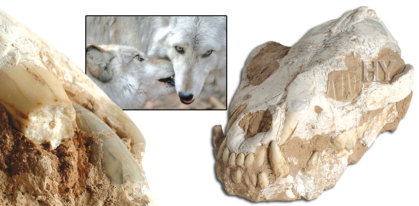 coyote, skull, fossil