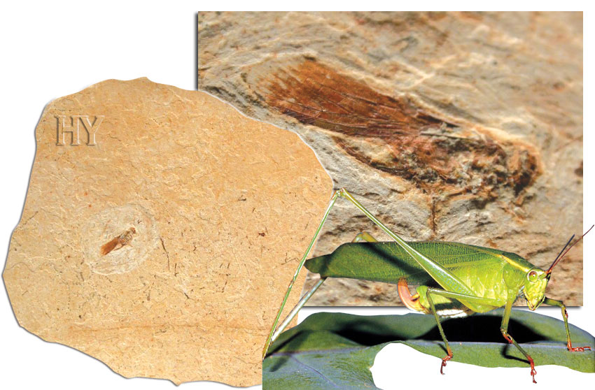 bush cricket, fossil