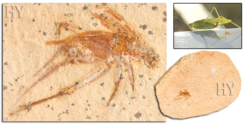 fossil, grasshoppers
