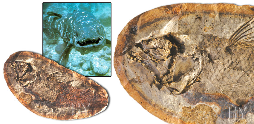Coelacanth, fossil, evolution