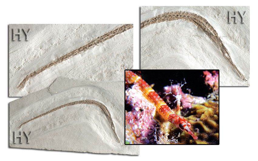 fossil, pipefish