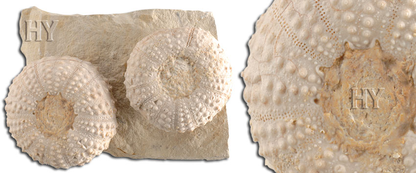 sea urchins, sea urchin, fossil