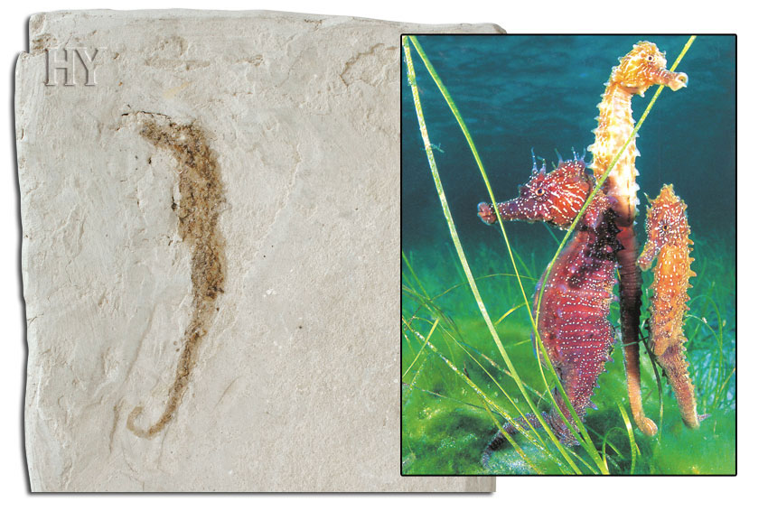 theory of evolution, fossil, seahorses, seahorse