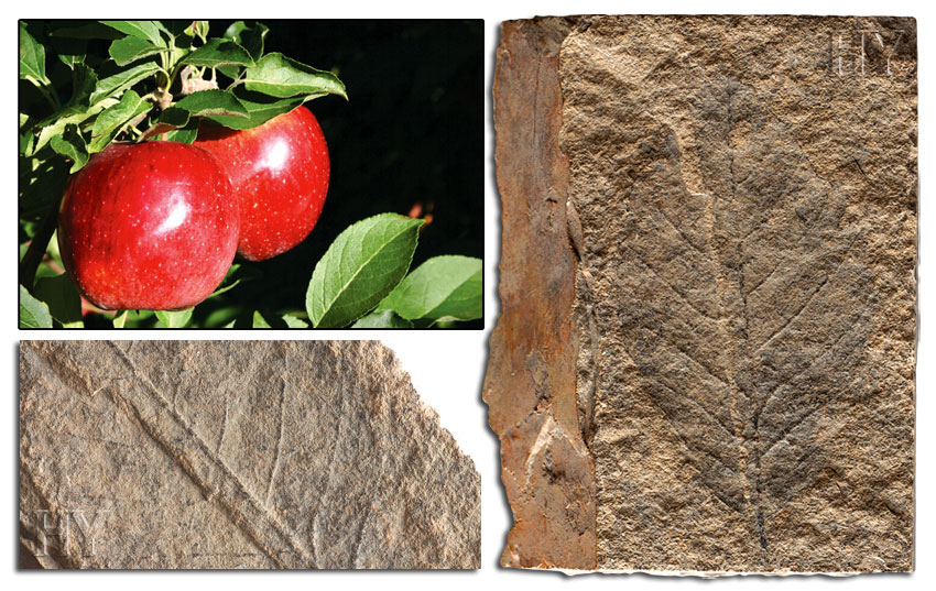 apple, leaf, fossil