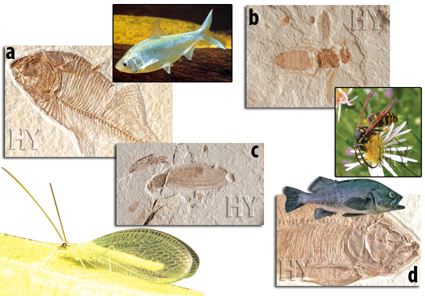 fossil, wasp, herring, neuropteran, trout-perch