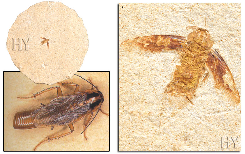 fossil, cockroach