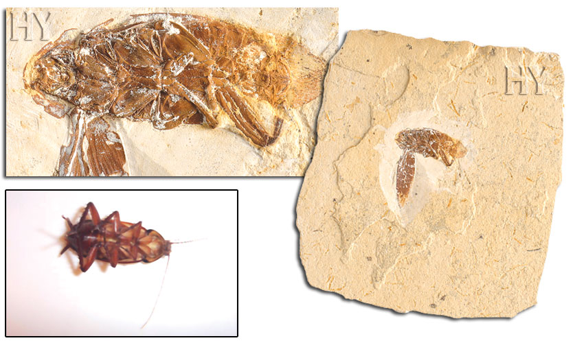 evolution, fossil, cockroach