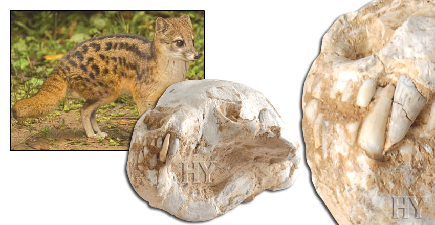 Creation, fossil, indian civet cat