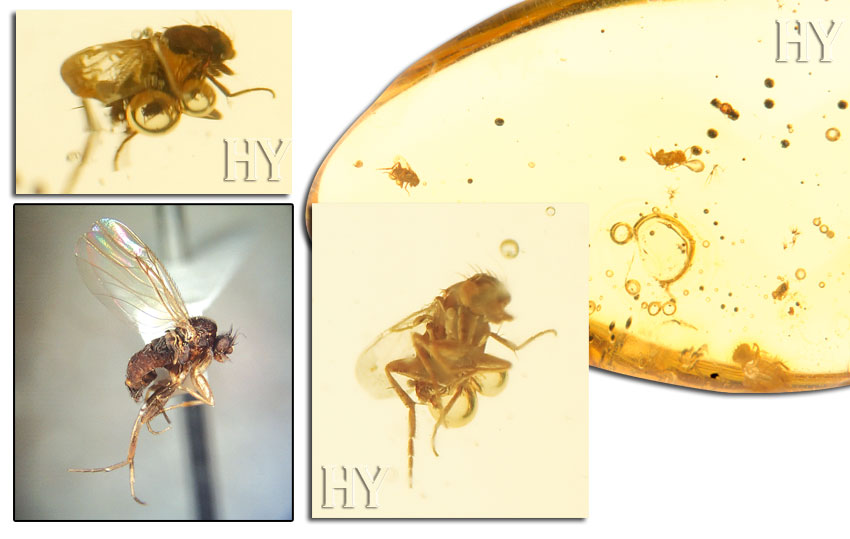 theory of evolution, fossil, scuttle fly, fly