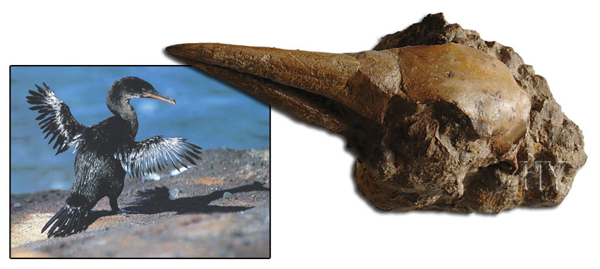 cormorant head and fossil