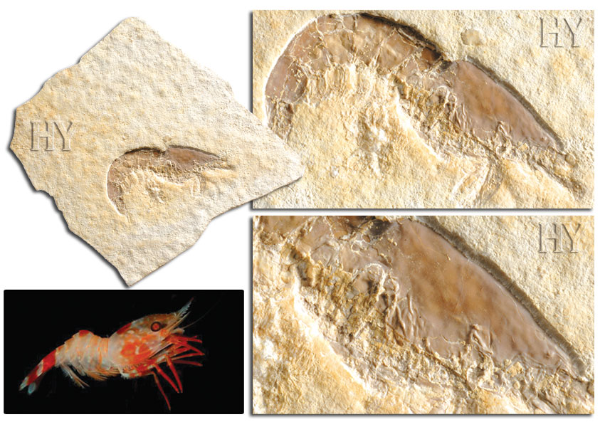 shrimp, fossil