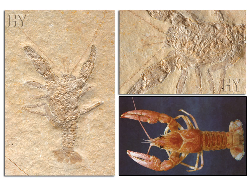 crayfish, fossil, eye