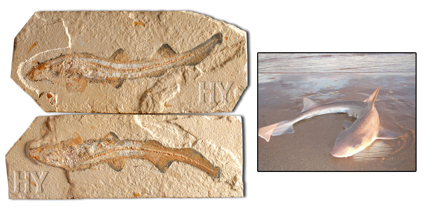 fossil, evolution, Shark