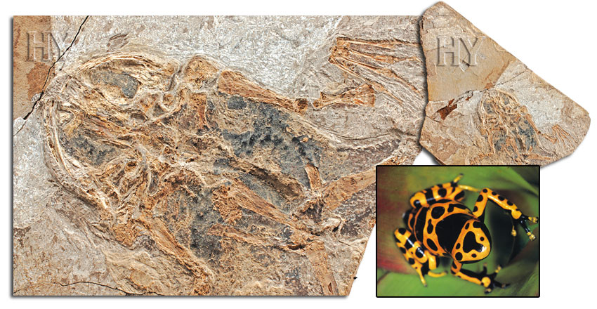 frogs, frog, fossil