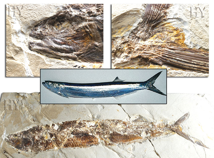 fossil, theory of evolution, wolf herring