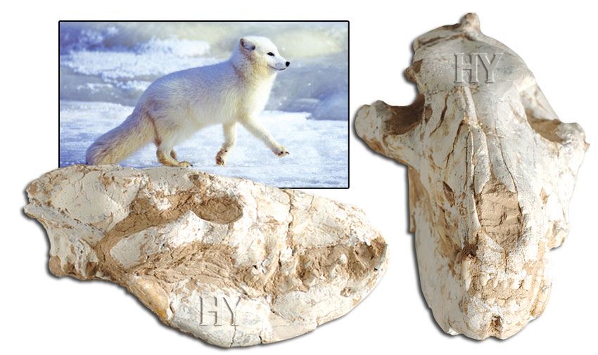 fox skull, fossil, Creation