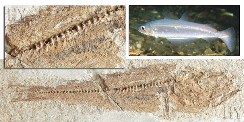 blue whiting, fossil, evolution