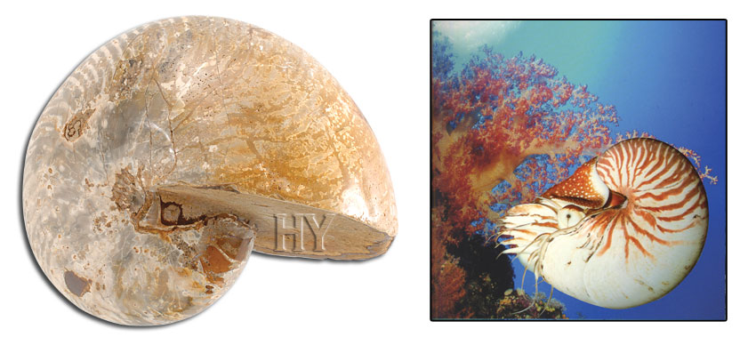 Nautilus, fossil, evolution