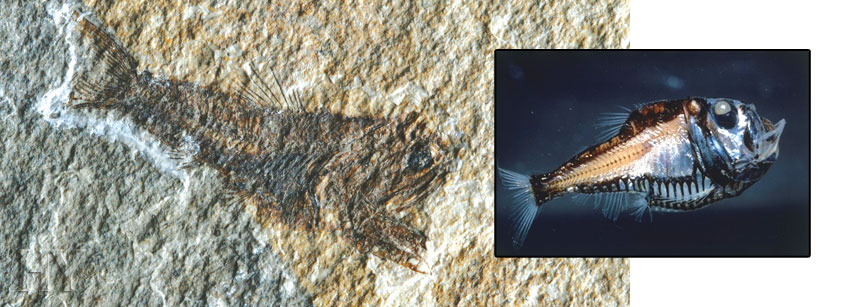 Polyipnus, fossil, Sternoptychidae