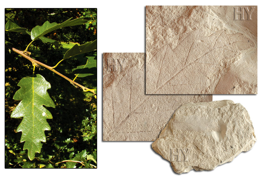 oak, leaf, fossil