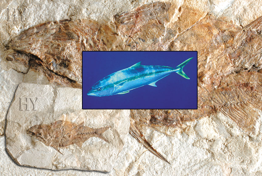 fossil, fish, yellowtails, yellowtail
