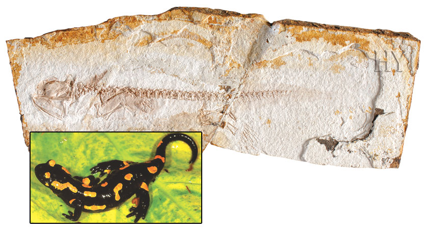 fossil, salamander, China