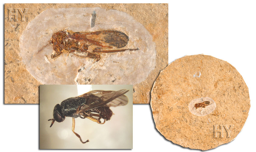 fossil, fly