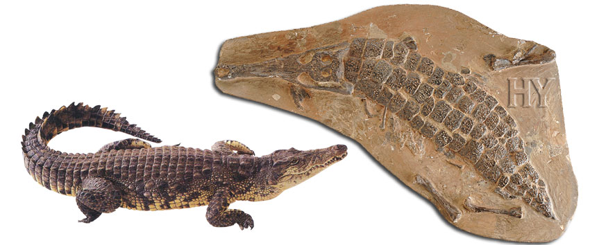 Crocodile, fossile