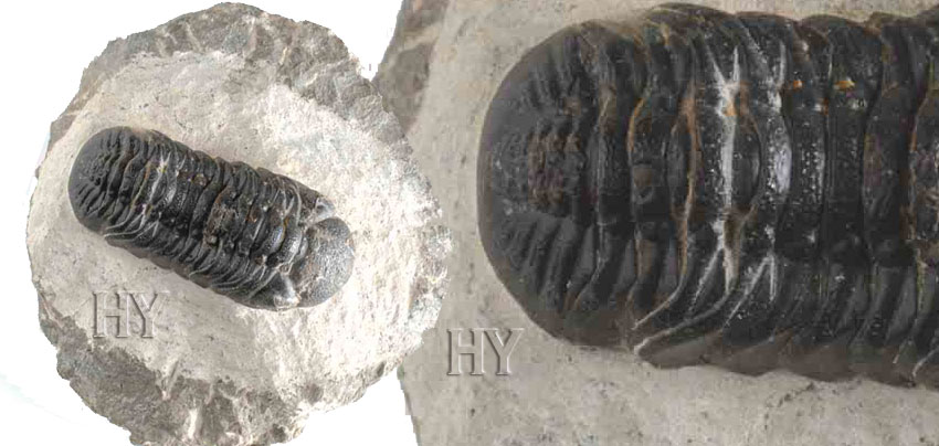 theory of evolution, Cambrian, fossil, trilobite