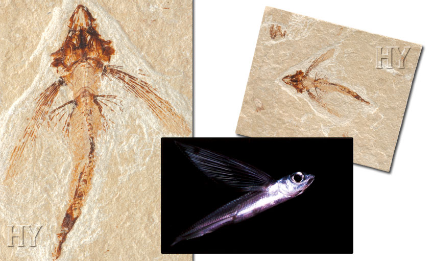 flying, fish, fossil